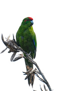 1st Dec 2019 - Red crowned parakeet