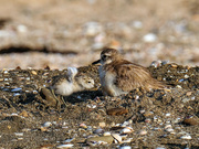 5th Dec 2019 - New Zealand dotterel and chick