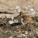 New Zealand dotterel and chick by maureenpp