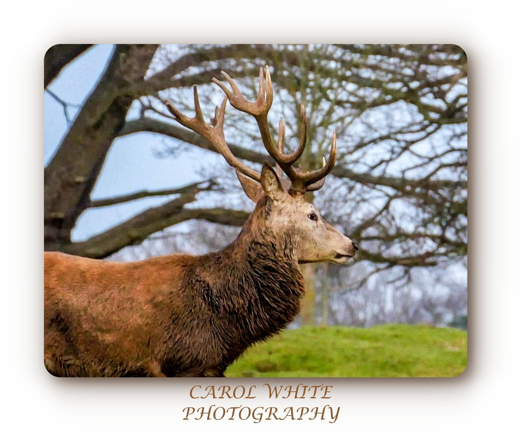 Rare Black Fallow Deer,Althorp Estate by carolmw