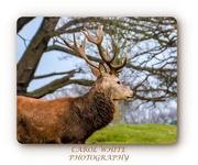 18th Dec 2019 - Rare Black Fallow Deer,Althorp Estate