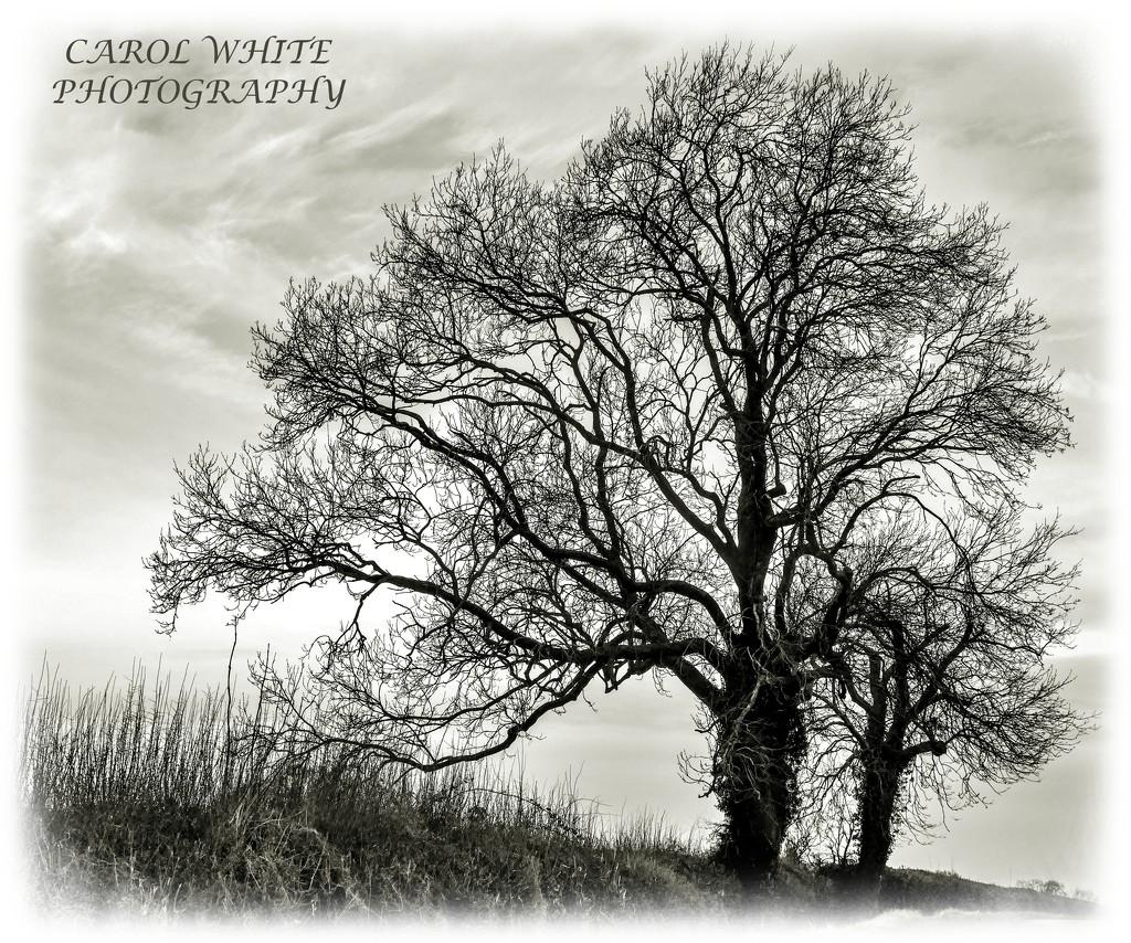 Bare Trees by carolmw