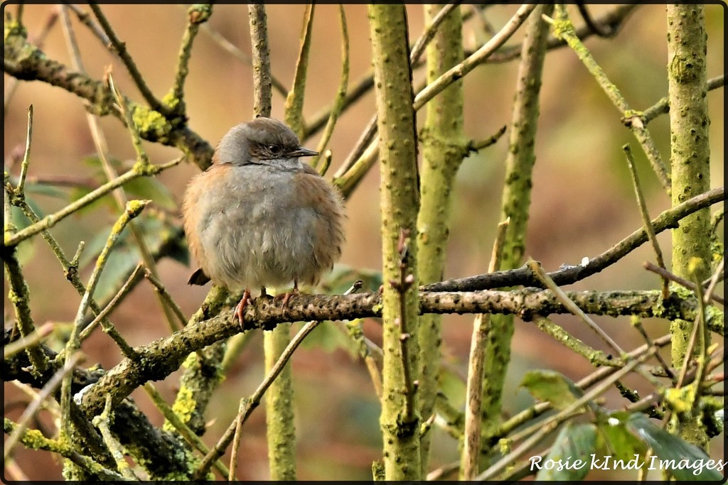 All fluffed up by rosiekind