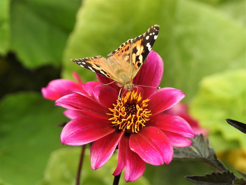 Painted Lady on Pink Dahlia  by susiemc