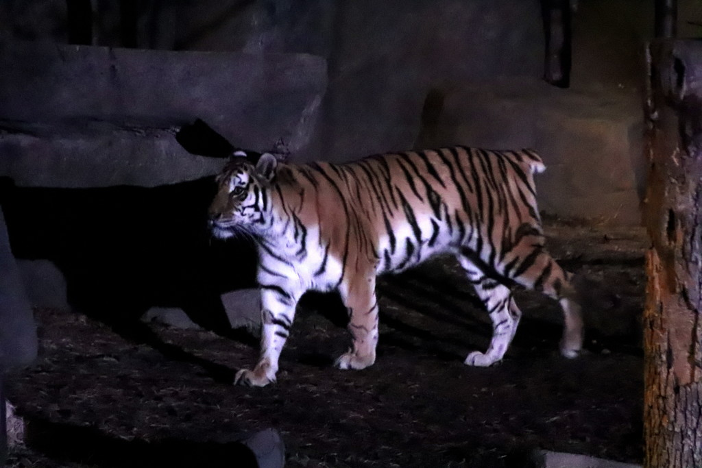 Tiger At Night by randy23