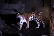 17th Dec 2019 - Tiger At Night
