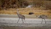 17th Dec 2019 - Sandhill Cranes On A Stroll