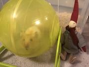 18th Dec 2019 - Pixie puts Hammie through his paces!