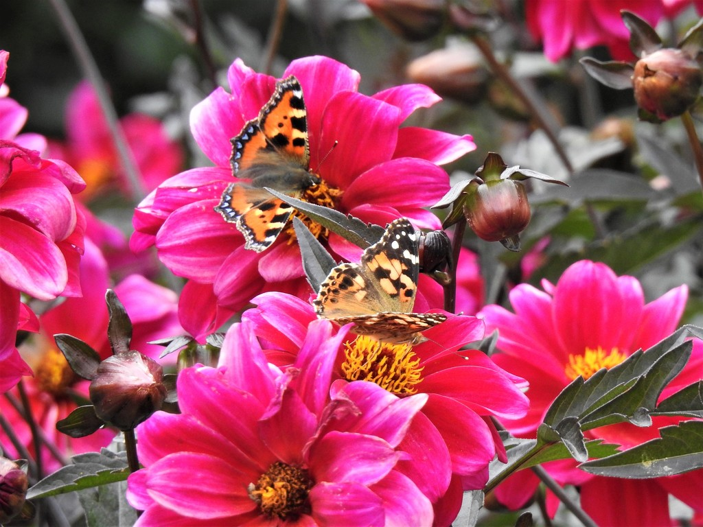 Tortoiseshell and Painted Lady on Pink Dahlias by susiemc