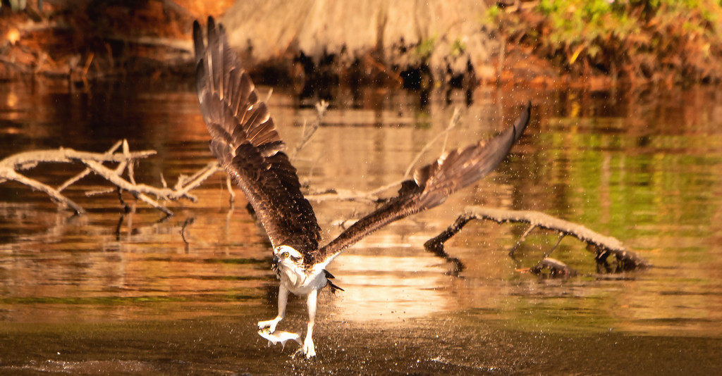 Osprey Picking up Lunch! by rickster549
