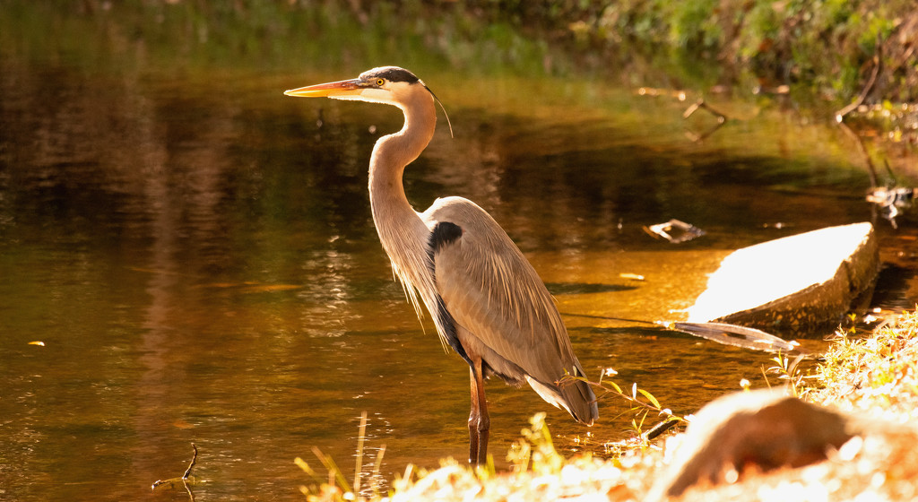 Blue Heron Waiting for me to Exit! by rickster549
