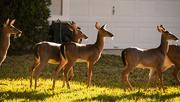 19th Dec 2019 - Santa's Deer Herd!