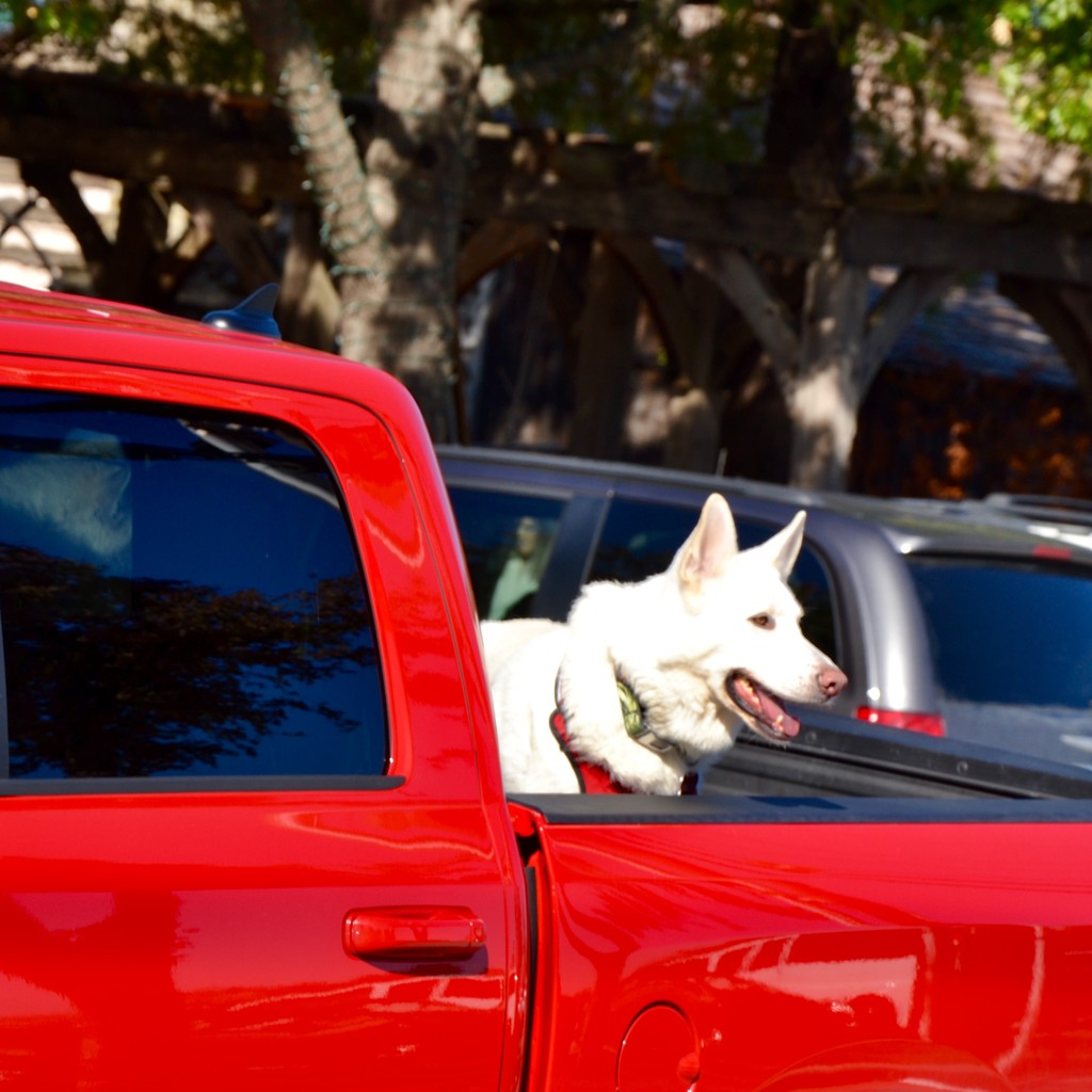 "This is Texas, so it's ""dogs in trucks"" here by louannwarren"