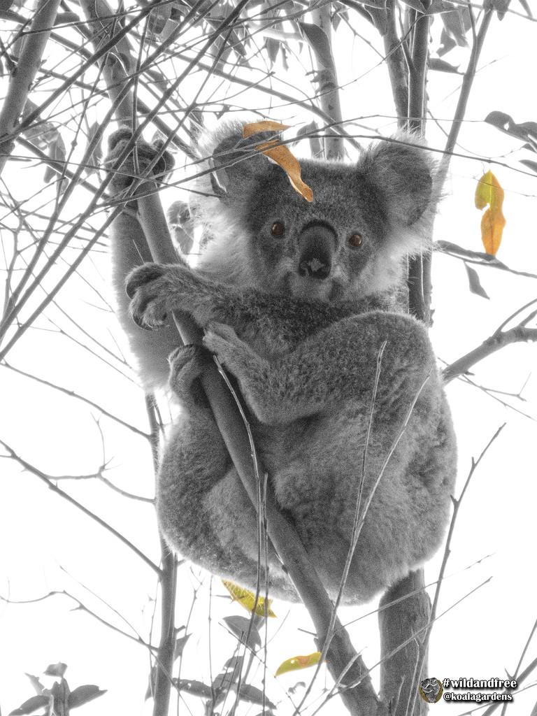 fat bottomed girls by koalagardens