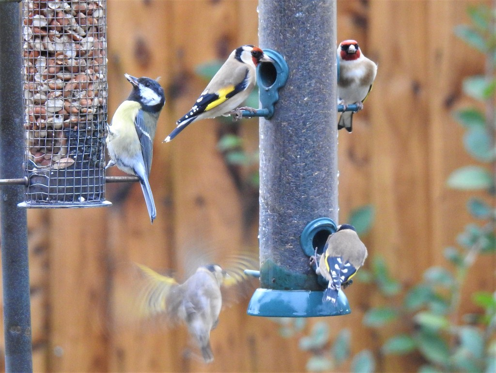 Goldfinches and a Coal Tit  by susiemc