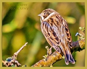 21st Dec 2019 - Reed Bunting