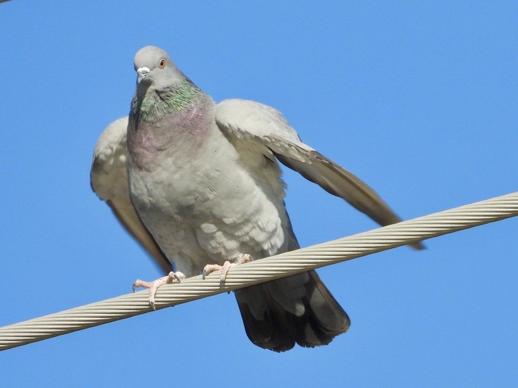 Pigeon1 by amyk