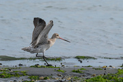 22nd Dec 2019 - Godwit coming in to land