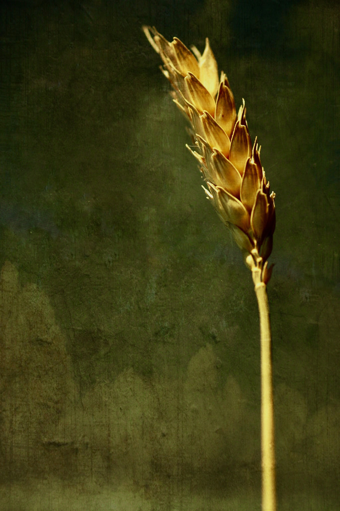 Stalk of Wheat  by mzzhope