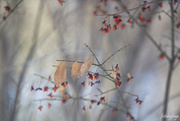 22nd Dec 2019 - Leaves and berries