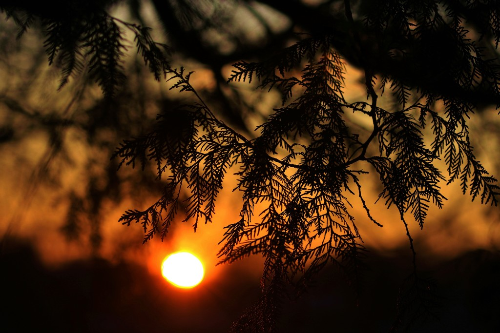 Pine Needle Sunset by lynnz