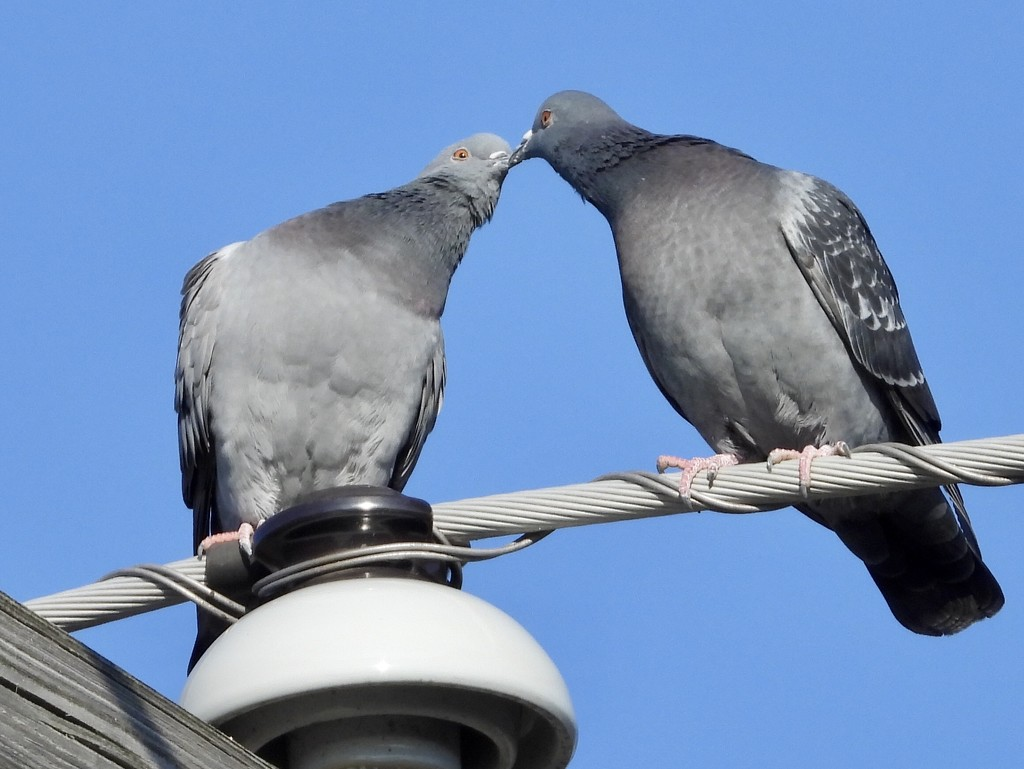 Pigeon kiss by amyk