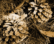 11th Dec 2019 -  2 pine cones
