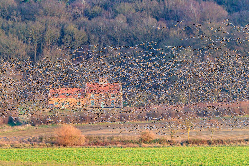 Pinkfoot Geese take to the wing by padlock