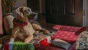 23rd Dec 2019 - Dori and her pup box