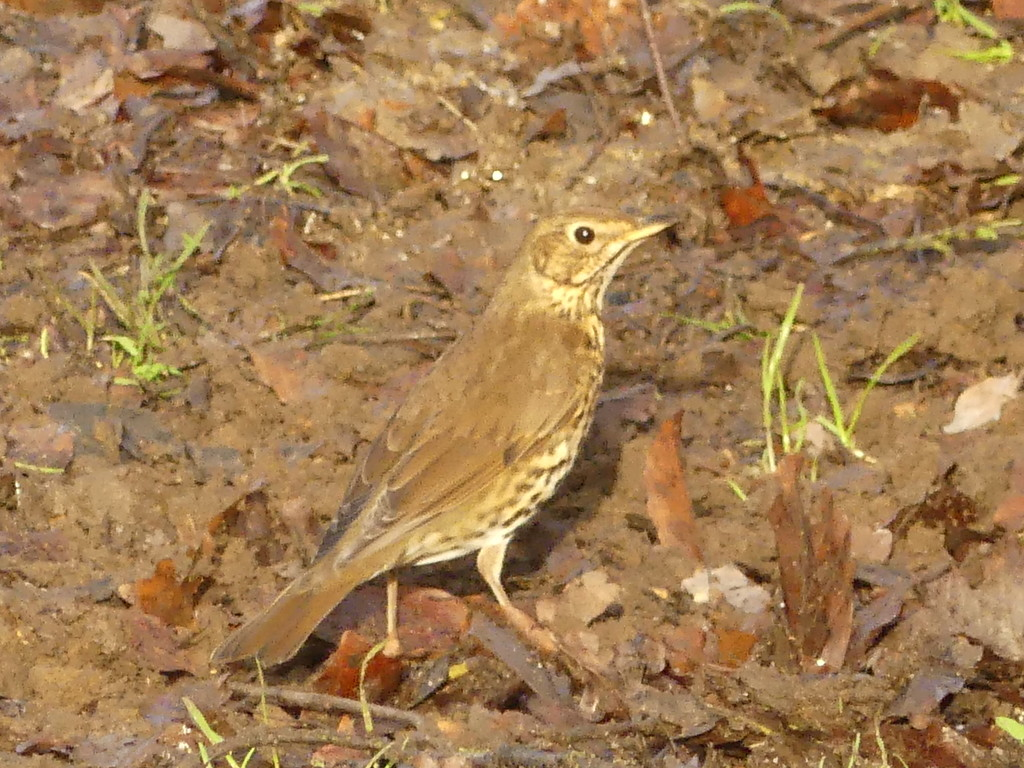 A Thrush by snoopybooboo
