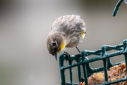 30th Nov 2019 - Yellow Rumped Warbler