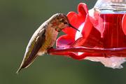 14th Dec 2019 - Anna's Hummingbird