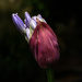 Agapanthus bud by maureenpp