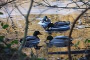 24th Dec 2019 - Mallards in the shallows