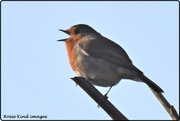 24th Dec 2019 - This little robin sang me a song