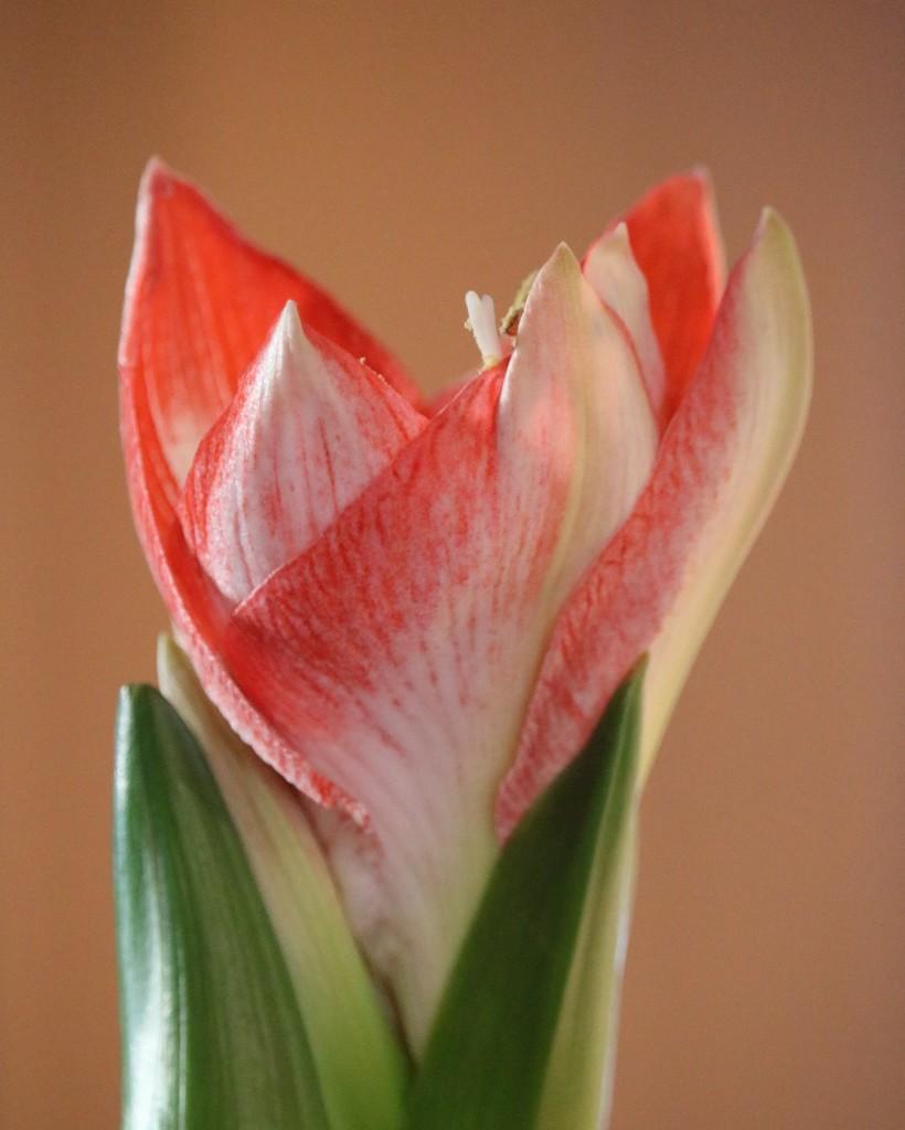 December 23: Amaryllis by daisymiller