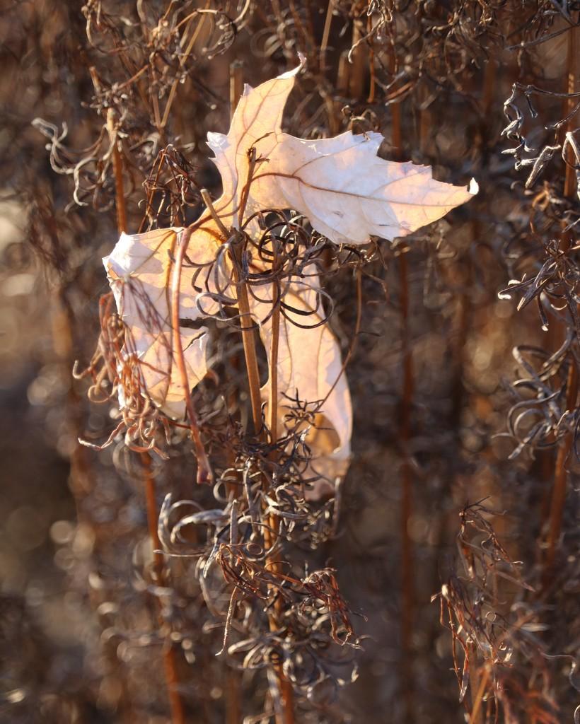 December 22: Lone Autumn Leaf by daisymiller