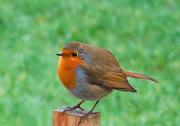 25th Dec 2019 - Robin on a Post.
