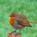 Robin on a Post. by tonygig