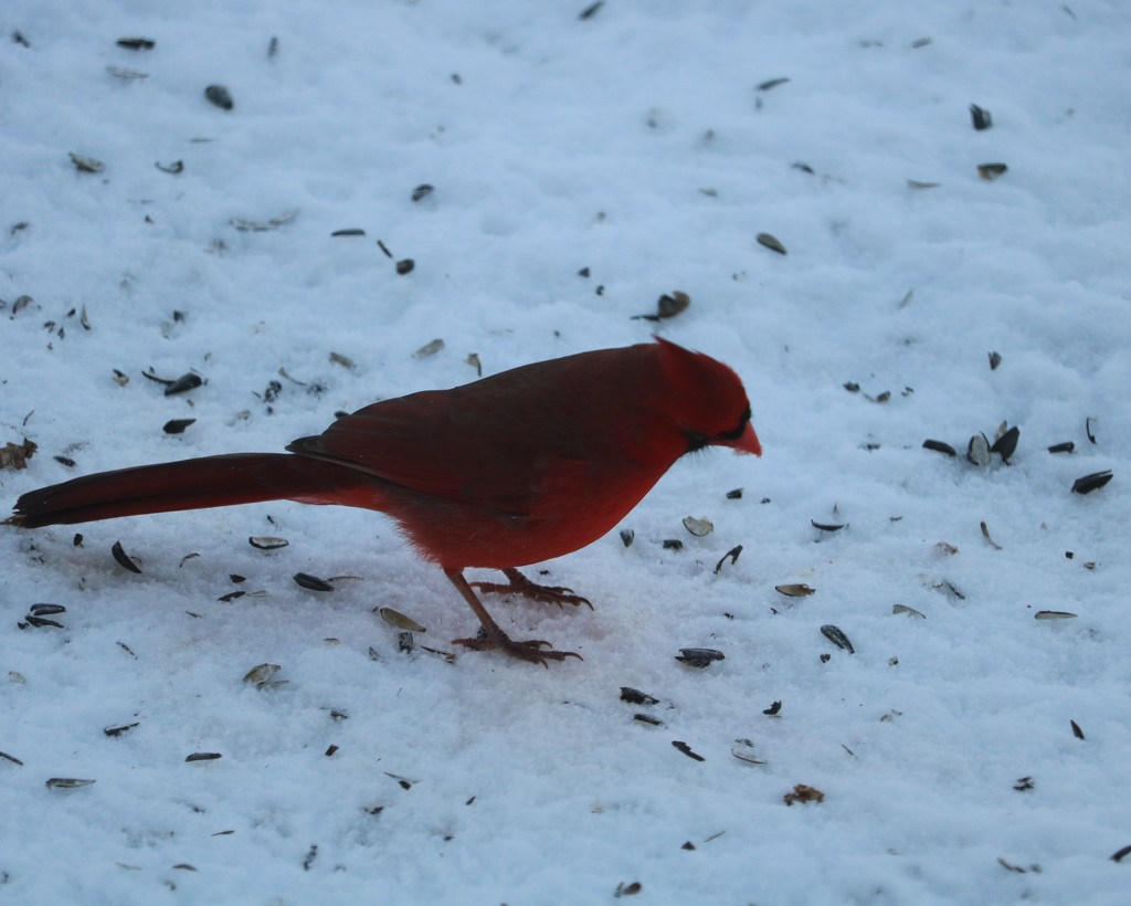 December 20: Male Cardinal by daisymiller