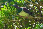 26th Dec 2019 - Wood pigeon (kereru)