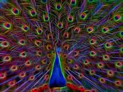 26th Dec 2019 - Neon peacock