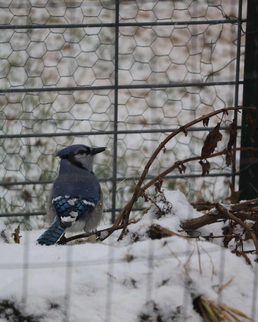 December 16: Blue Jay by daisymiller