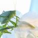 Katydid in the sweet peas by maureenpp