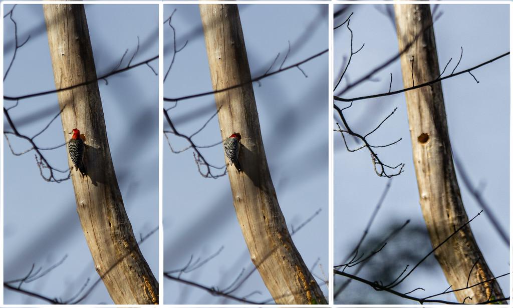 Woodpecker Nest_365 by randystreat