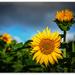 Sunflowers... by julzmaioro