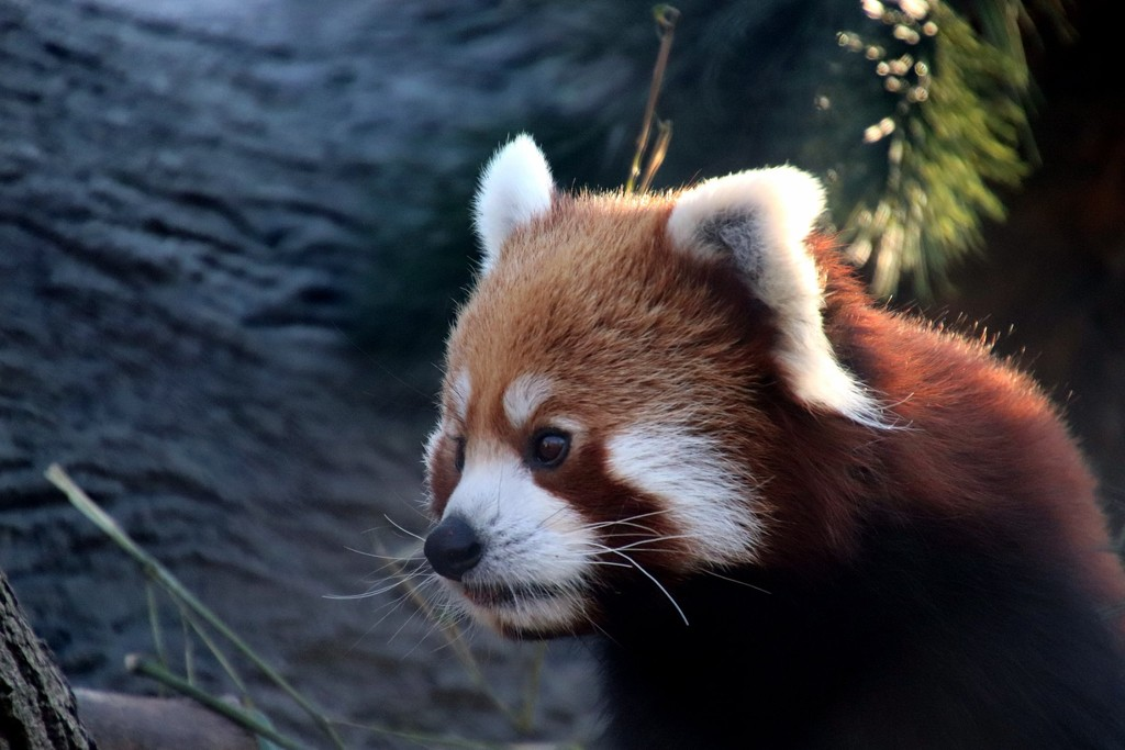 Leo The Red Panda by randy23