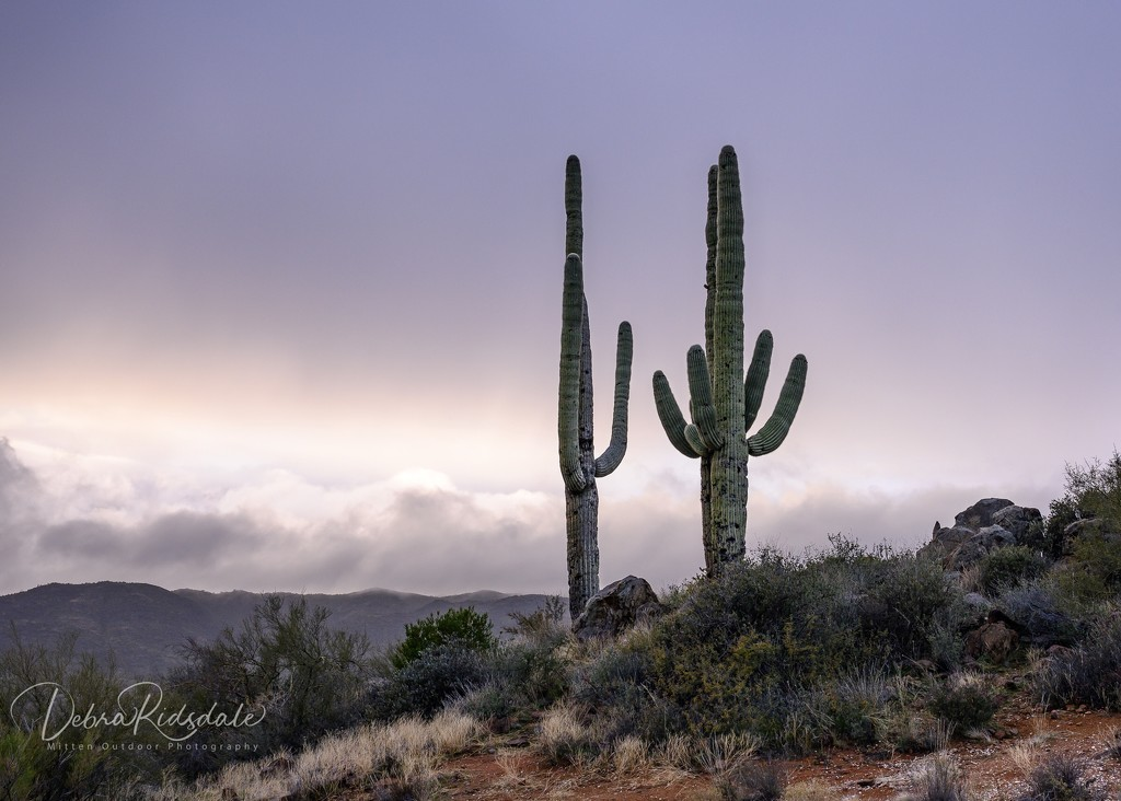 Saguaros in Arizona  by dridsdale