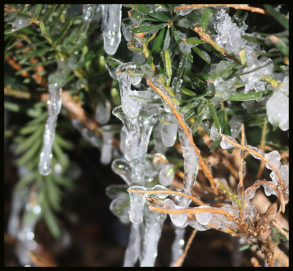 Ice in the Pine Tree by ladykassy46