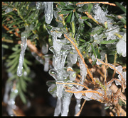 20th Dec 2019 - Ice in the Pine Tree